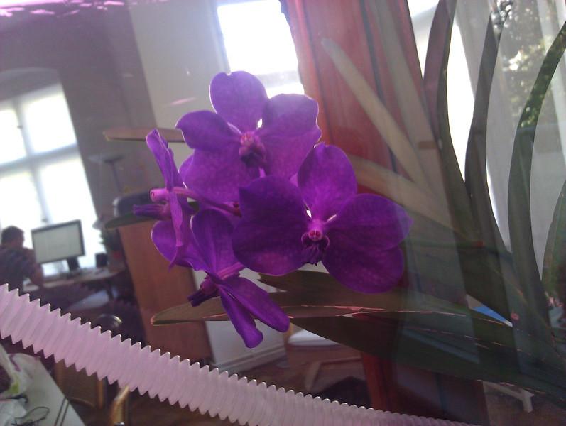ascocenda blooming in the orchidarium
