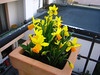 daffodils blooming like crazy on our balcony: a bit late for st. david's day, but still pretty :)