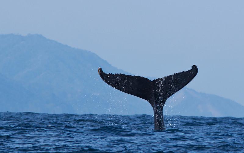 Humpbacks in Banderas Bay
