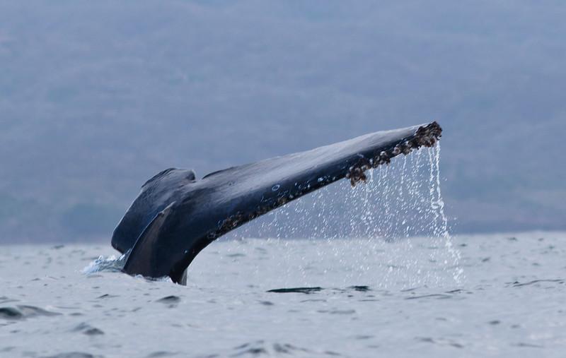 Great Humpback Dive
