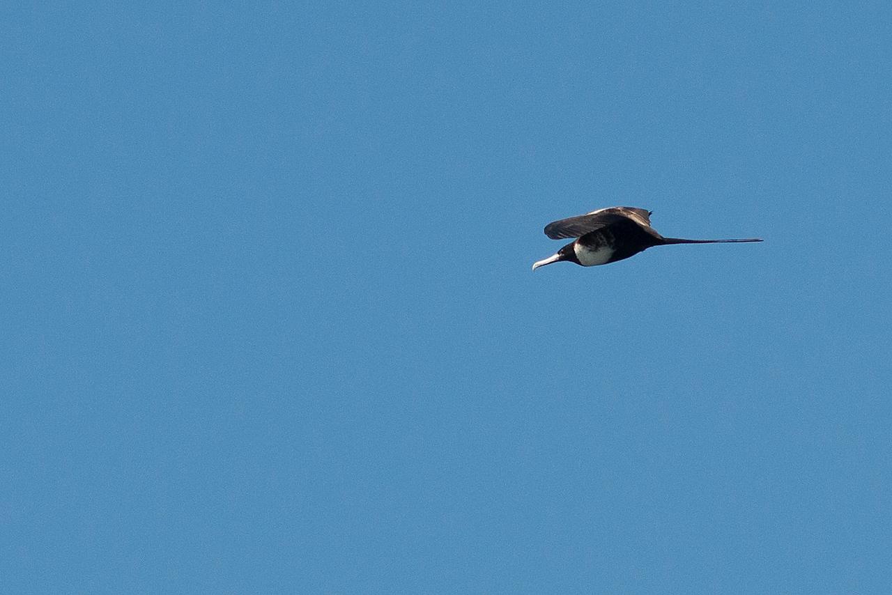 Female Frigate Bird