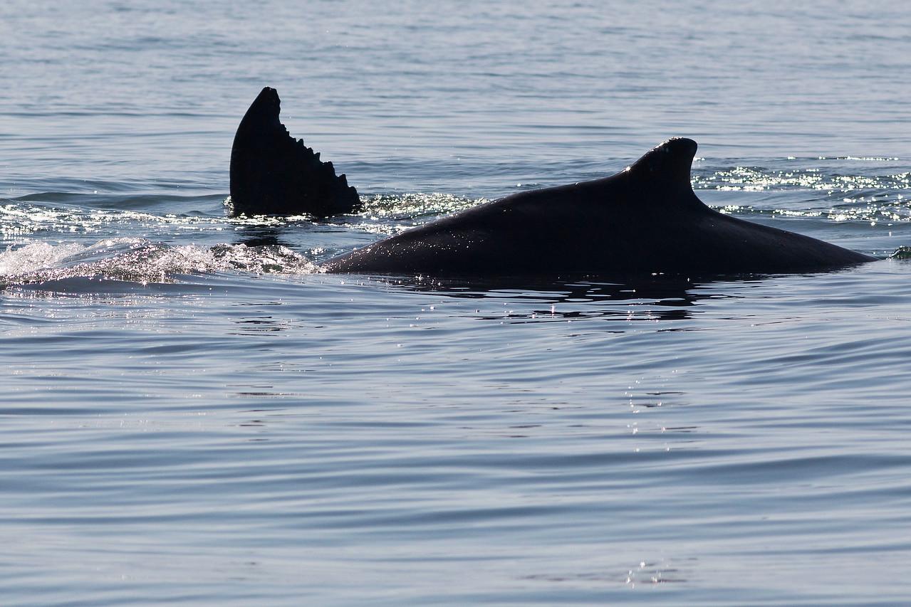 New Born Humpback and Mother's Tail, Banderas Bay