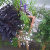 fluffy white lobelia, dark purple leaves on sweet potato vine, chocolate mint, bicolored lobelia