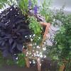 fluffy white lobelia, dark purple leaves on sweet potato vine, chocolate mint, bicolored lobelia