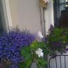 lobelia, begonias (hanging and ruffled), and purple million bells