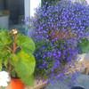 lobelia and begonia