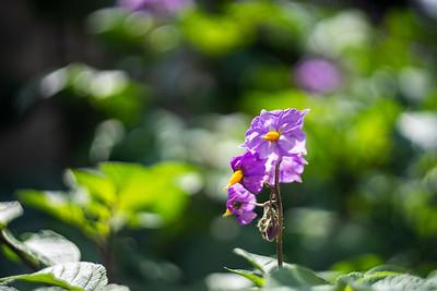 Potato Flowers 1