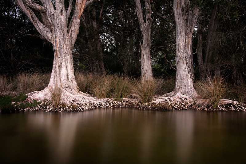 Melaleucas at Myall Lakes