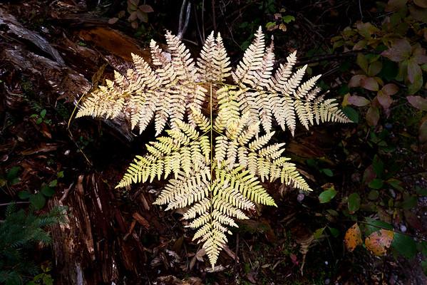Autumn fern, Acadia National Park