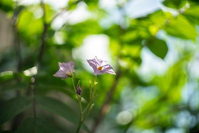 Potato Flowers 2
