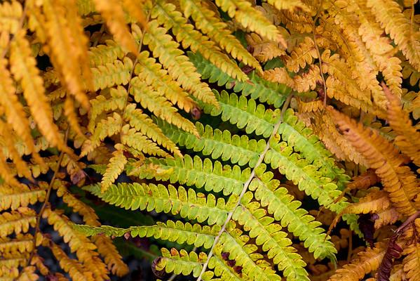 Autumn ferns, Acadia National Park
