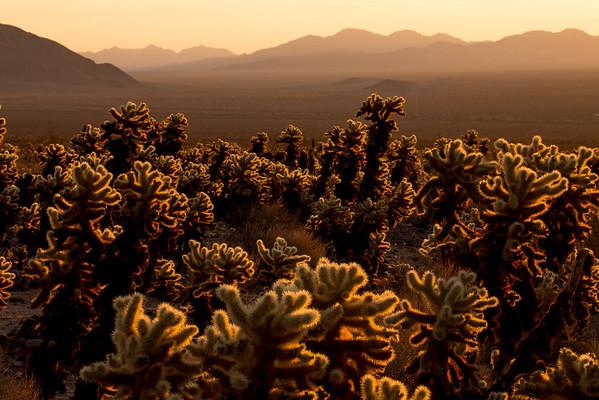 Cacti sunrise, Joshua Tree National Park