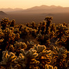 Cacti sunrise, Joshua Tree National Park