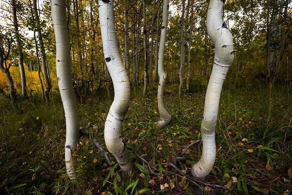 Aspens, near Crested Butte, Colorado