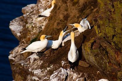 Gannets Arguing