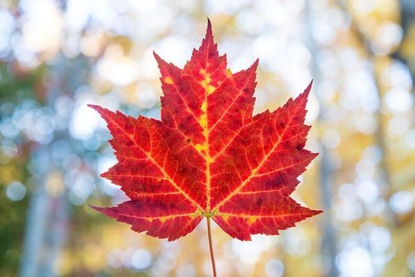 Maple leaf, Acadia National Park, Maine