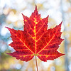 Maple leaf, Acadia National Park