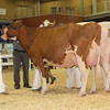 All-American16_JR_RedHolstein_IMG_7844
