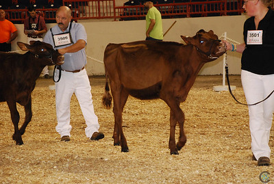 All-American Milking Shorthorn