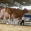 All-American16_RedHolstein_IMG_1200