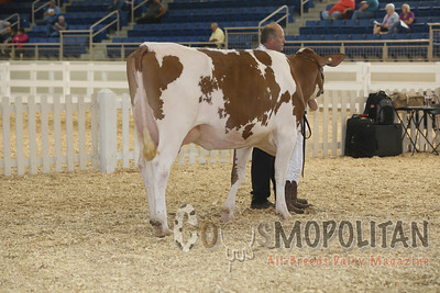 All-American Red Holstein Cows