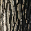 The bark of the popular tree begs to be photographed.