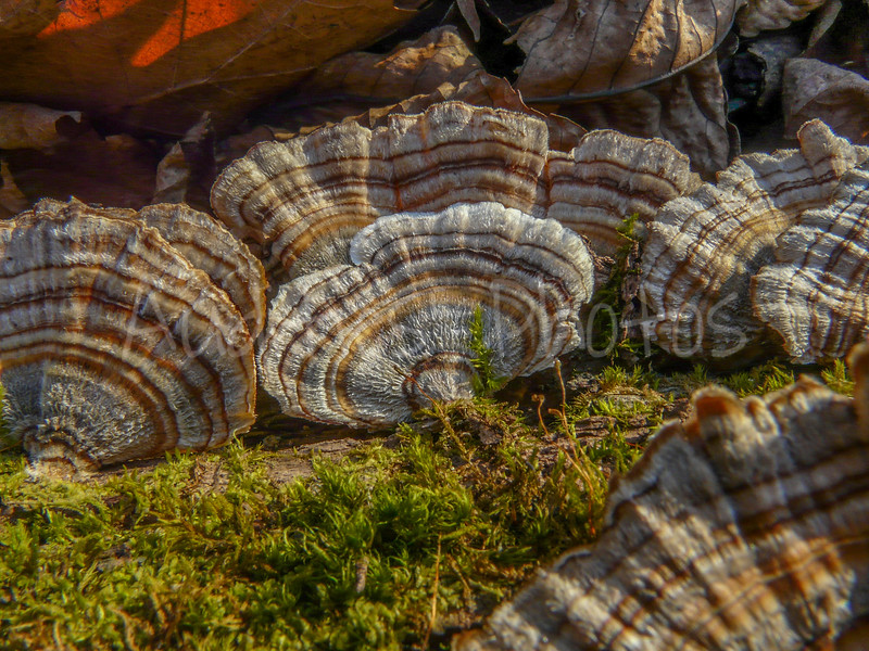 I have a weakness for these forest fungi, aptly named turkey-tail..