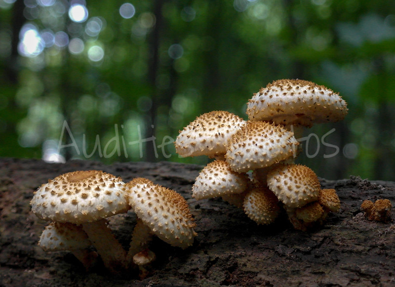 Scaly Pholiota in the forest.