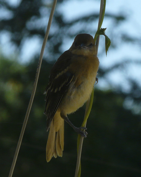 This baby oriole is waiting  and watching, while taking lessons from its father on how to drink from a feeder.