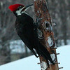 Mr. Pileated on Boxing Day decided to copy Hairy woodpecker and try out the pork-belly fat feeder.