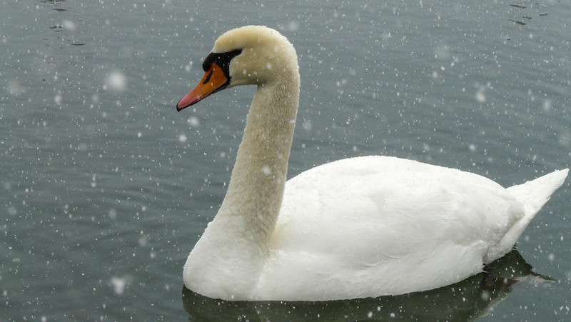 In Hanover on April 1, 2013. A pair of swans was enjoying Marl Lake and hoping for some treats from us.