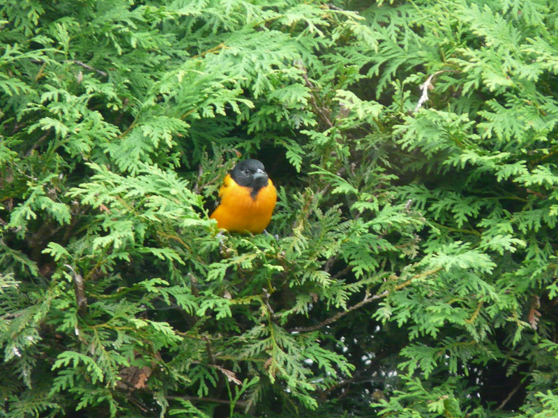 Mr. Oriole loves the cedar hedge.  He sits there for 15-20 minutes at a time--just looking around admiring Terrasse Audrey.  :-).