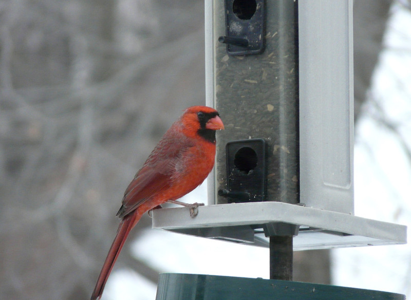 Now that the squirrel have been relegated to the ground-pickings, Mr. Cardinal can enjoy a snack.