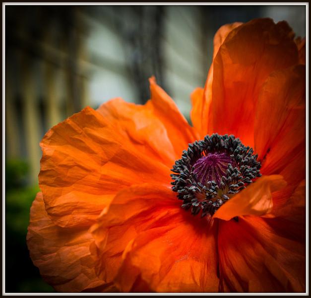 I adore this poppy!