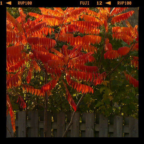 "The sumac in her finest flamboyancy.  ""See me! See me!"""