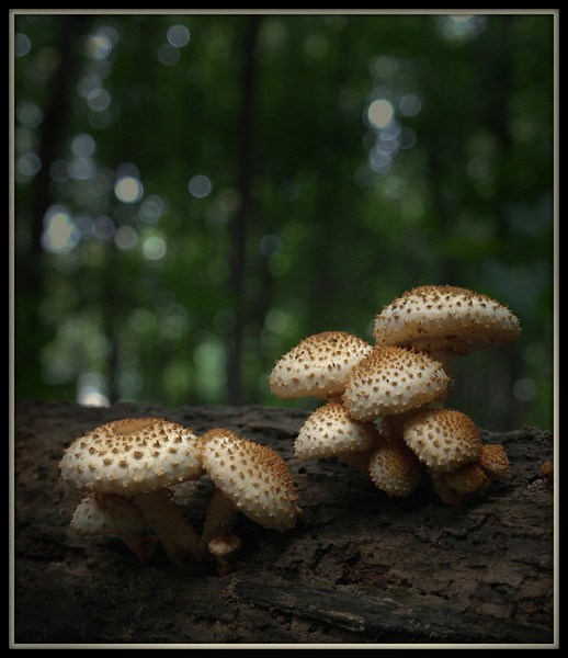 A gray drizzly September morning is a perfect time to capture shots of mushrooms in the woods.