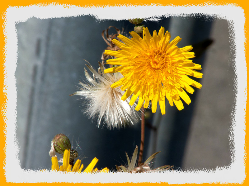 Even weeds have their sunny charm.