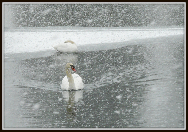 Yes, it was April 1st and there was a snow storm in the air. But that didn't stop this pair of swans from swimming towards us.
