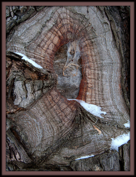 An old wound in a very large tree on the big island.