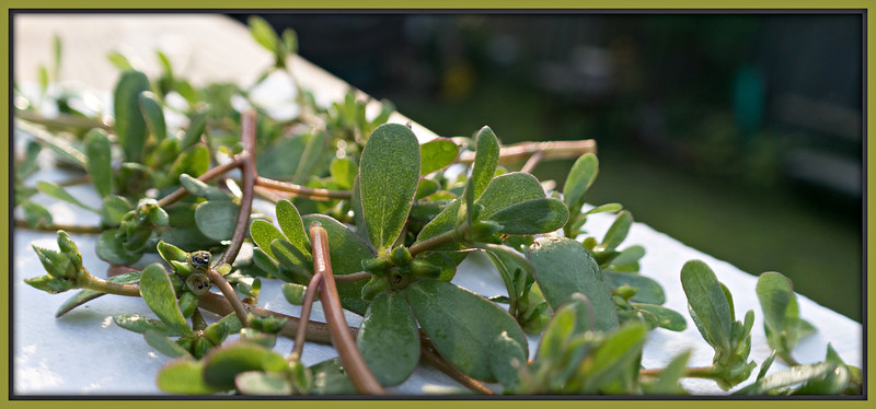 Purslane: a delicious, nutritious weed that is free for the picking.
