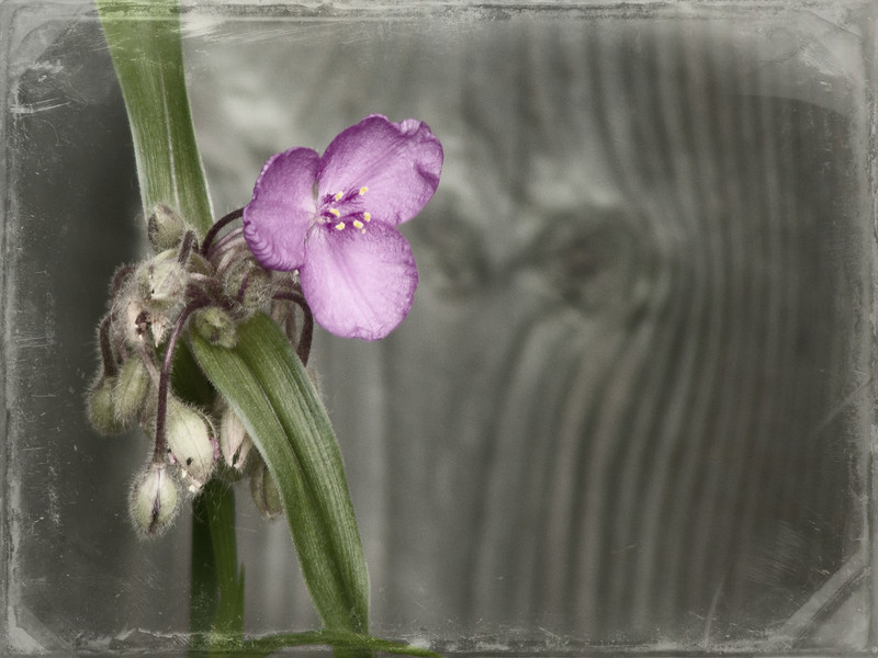Spiderwort: a lovely three-petaled flower.