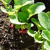 Radishes grow well and quickly in this rich soil.