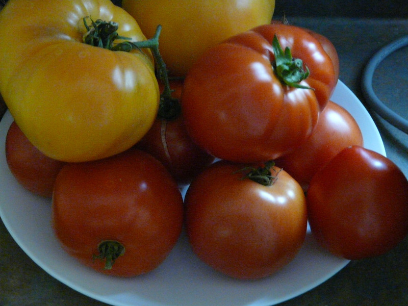 At least 3 different types of tomatoes.  I don't recall having planted yellow beefsteaks, but that's what they look like.  They may even have been on the same plant.