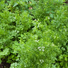 Lovely coriander.