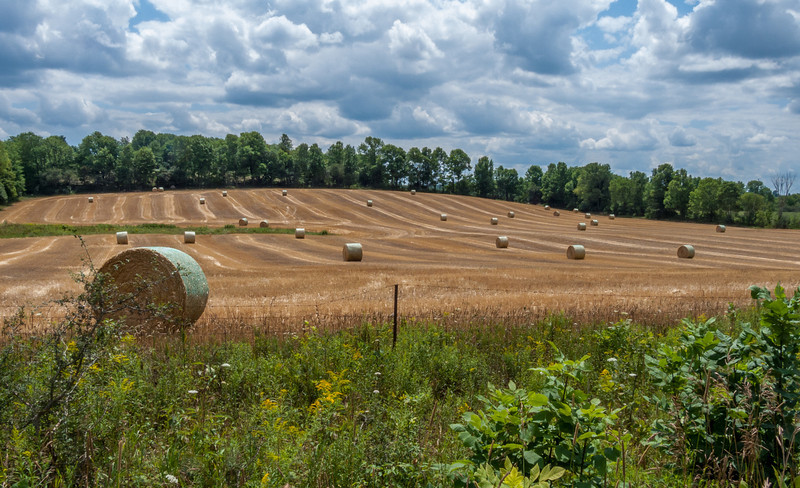 A golden field of straw bales.
