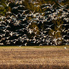 Snow geese feeding before their long flight.