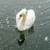 The swan is ignoring the snowflakes and hoping for a handout. In Hanover, Ontario.