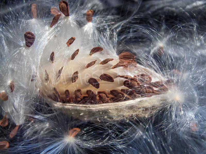 Milkweed's silken seeds are ready to set sail.