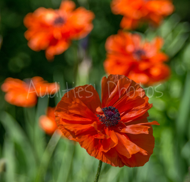 Such delicate papery poppy petals.