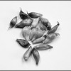 Garlic seeds in black and white.